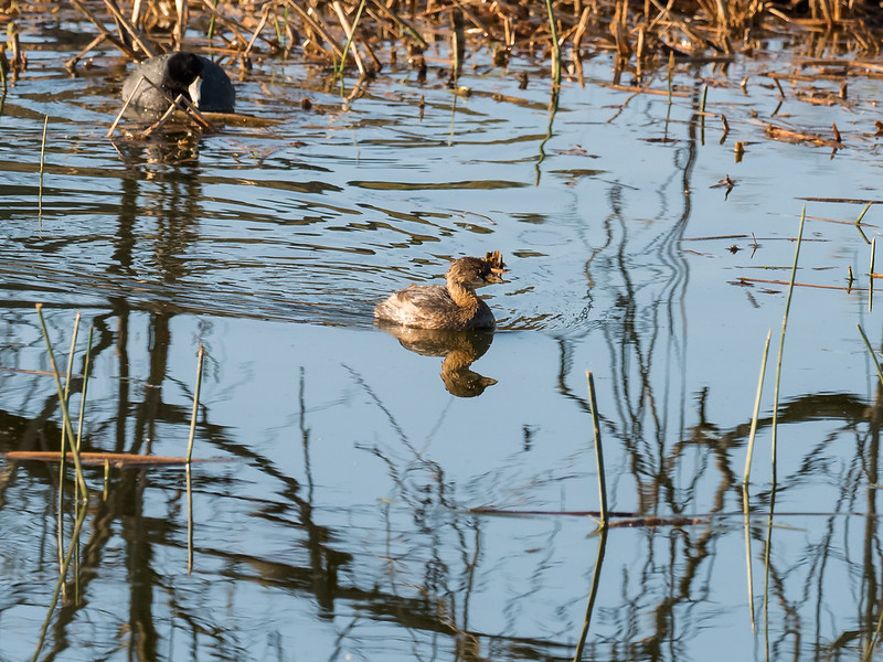Pied-billed Grebe (Adult-winter)