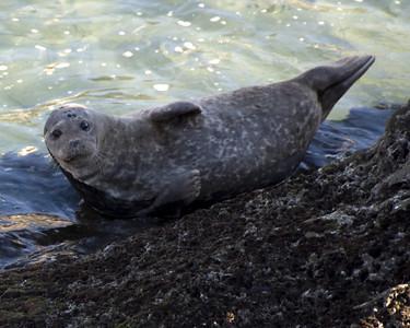 California-Seal-at-La-Jolla