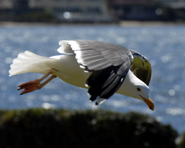 Seagull at Seaport Village