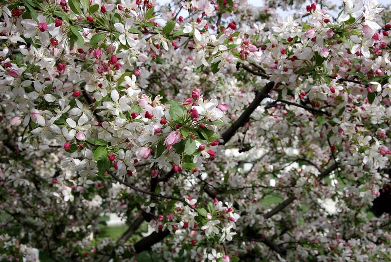 Chery Blossom 2