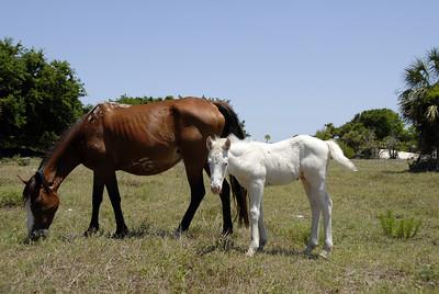 Wild Horses at Cumberland Island