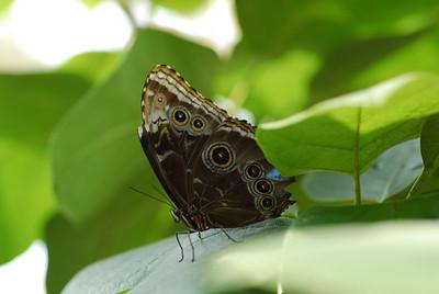 7-eye butterfly