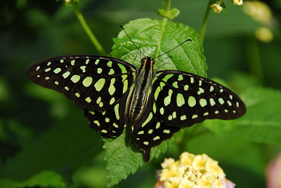 Spotted Green Butterfly