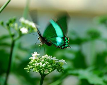 butterfly sucking