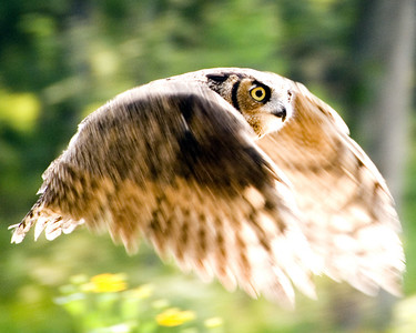 Flying-Owl-3