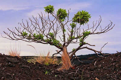 This tree and grasses are starting a new cycle of life on the barren lava field