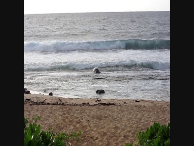 VIDEO of Monk Seal hauling out on shipwreck beach