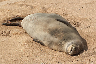 Hawaiian Monk Seal basking on beach in front of Lawai Beach Resort