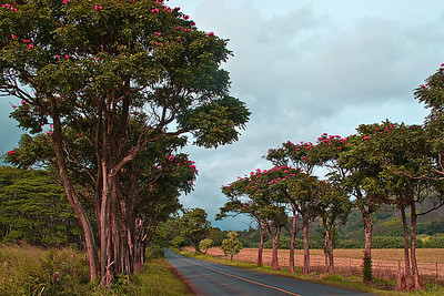 These African Tulip Trees are along the road to Poipu Beach