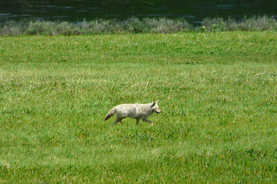 Yellowstone National Park - a wolf