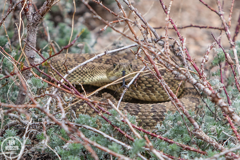 Rattlesnake, Colorado