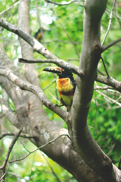 Our next door neighbors to our Tulum apartment. A family of 4 aracari toucans. August 2017