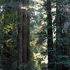 Redwood trees - are way bigger than they look here...