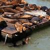 San Francisco's sea lions.