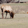 Elk wintering at the Lake Estes 9 Hole Golf Course