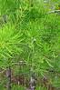 Cypress in new foliage<br /> <br /> Big Cypress Swamp<br /> <br /> Kirby Storter Roadside Park