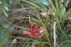 Bromeliad, Big Cypress Swamp<br /> <br /> Kirby Storter Roadside Park