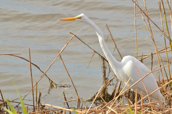 Great Egret, Mattamuskeet NWR, NC