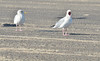 Cape Hatteras - adult, non-breeding herring gulls