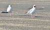 Cape Hatteras - adult, non-breeding herring gulls