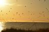 The gulls heading off for the night.<br />Casey Key, Nokomis, Florida