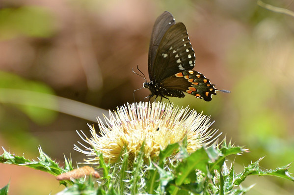 Black Swallowtail butterfly, Asssateague NWR, VA