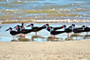 Black Skimmers and Royal Terns, Tybee Island, GA