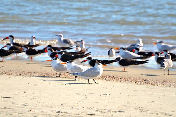 Black Skimmers and Royal Terns, Tybee Island, GA