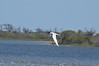 Sequence of Forster's Tern flying, hovering, diving and coming back out of the water, Assateque Island NWR, VA