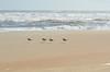 Cape Hatteras - willets