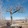 Cottonwood tree, South Boulder