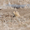 Prairie Dog in its hole