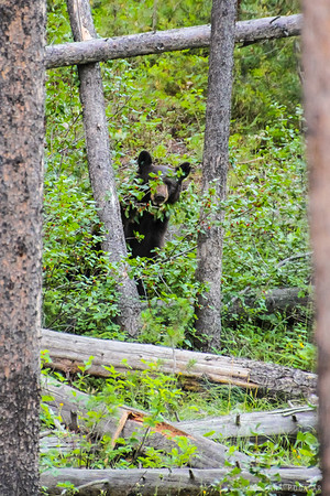 A bear on the Signal Mt., Grand Teton NP