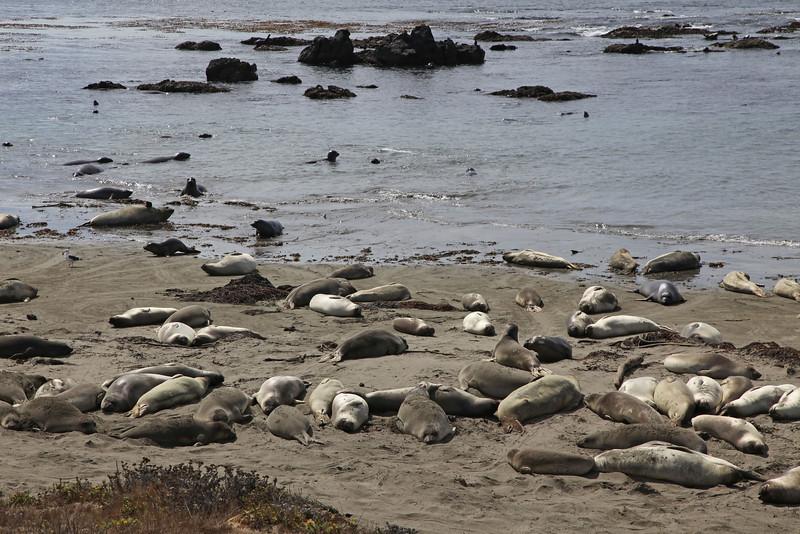 USA 2011 - Rit van Santa Barbara naar Monterey via de Pacific Coast Highway<br /> Point Piedras Blancas - Elephant seal colony