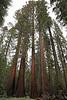 USA 2011 - Yosemite National Park - Mariposa Grove