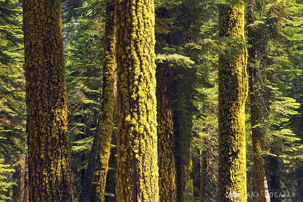 Moss-covered trees in Yosemite NP