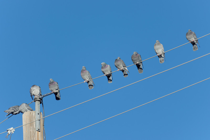 Pigeons in a line