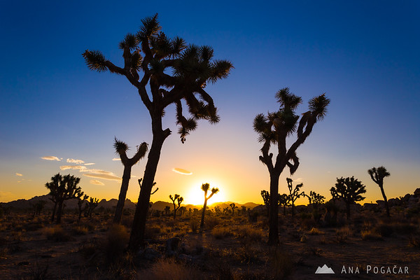 Sunrise in Joshua Tree NP