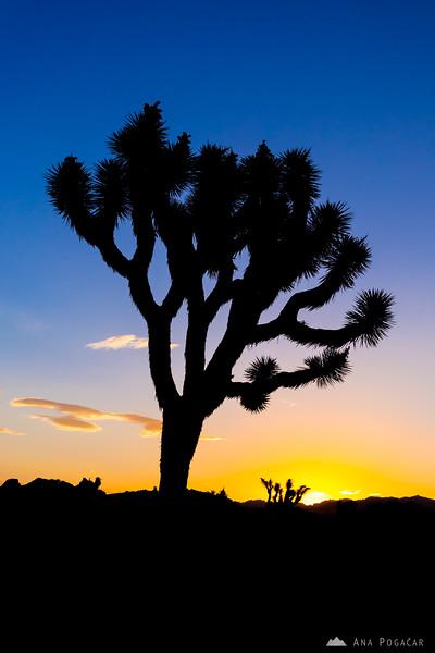 Sunrise in Joshua Tree NP