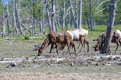 Elk at Alaska Wildlife Conservation Center http://www.alaskawildlife.org/