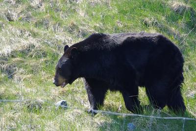 Black bear at Alaska Wildlife Conservation Center http://www.alaskawildlife.org/