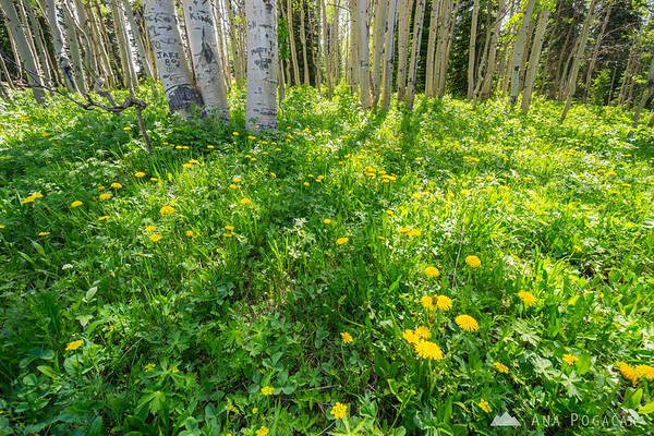 Forest flowers, Grand Mesa