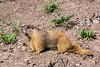 Prairie dog, Animas Forks, San Juan Mountains, Colorado