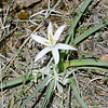 Sand Lilly http://www.easterncoloradowildflowers.com/www/htm/Leucocrinum_montanum.htm BNC hike at Chautauqua