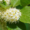 Western chokecherry (Prunus virginiana)