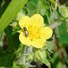 Macoun Buttercup (Ranunculus macounii)