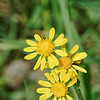 Fendler groundsel (Packera fendleri)