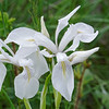 Wild Iris (Iris missouriensis)
