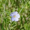 Wild Blue Flax (Adenolinum lewisii)