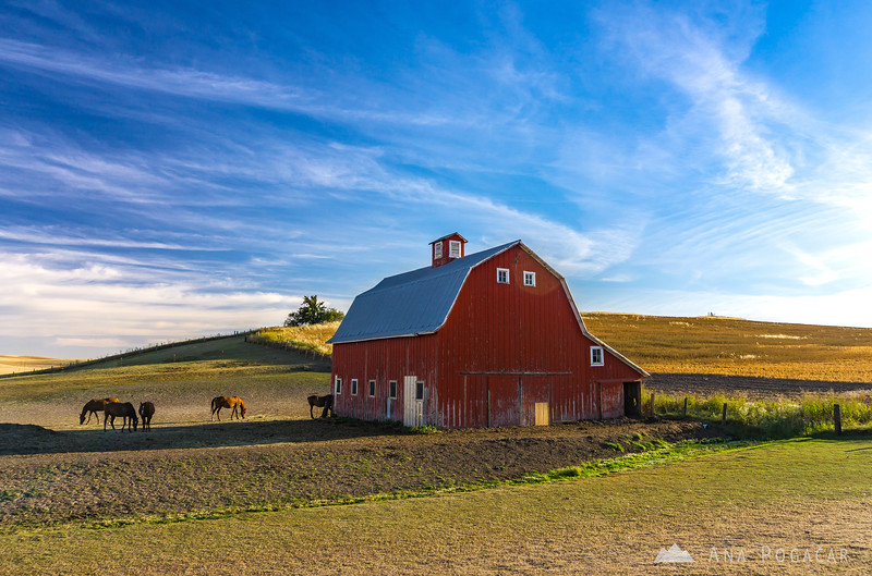 Red barn and horses in the Palouse